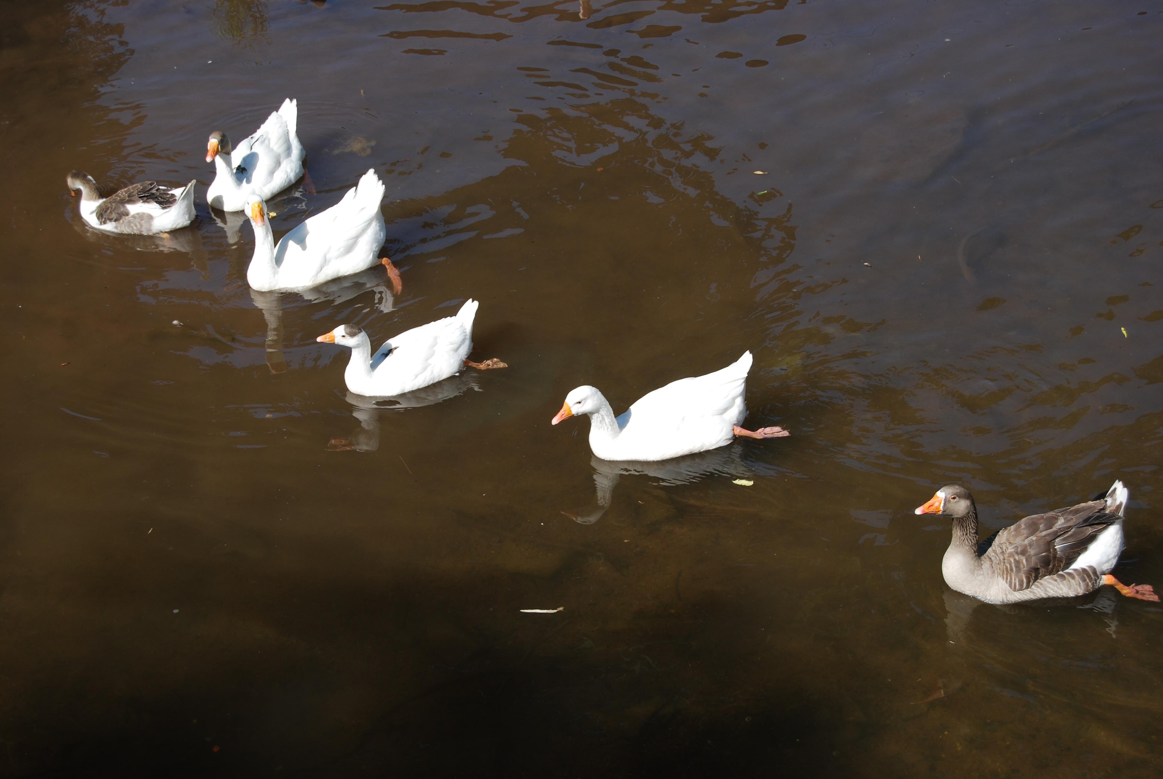 Duck race?